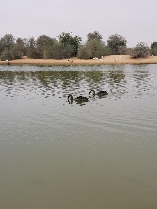 Black Swans - Al Qudra Lakes